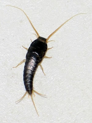 Charming Silverfish Are Small Insects With No Wings. The Name Is Derived From Their  Silver Color And Fish Like Appearance. They May Also Be Called Fishmoths,  ...