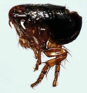 Cat fleas
