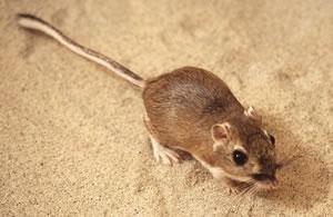Norway rats