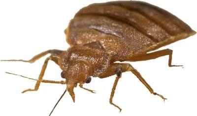 Closeup of bed bug