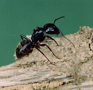 Carpenter ant on log