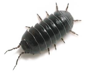 Getting Rid Of Woodlice In The Home