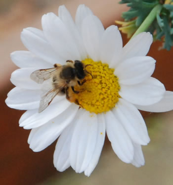 Getting rid of bee on daisy